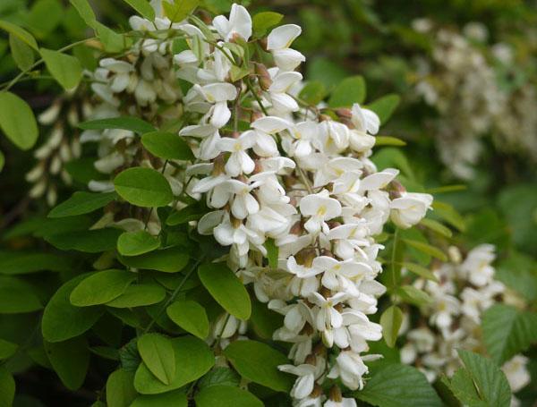 beignets de fleurs d'acacia - blog de châtaigne